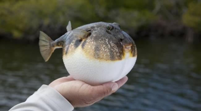 Balon balığı zehirlidir, sakın yemeyin!