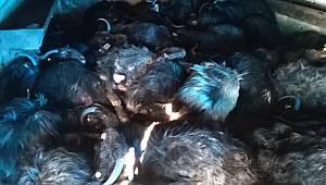 Ahır yandı.. Yüzlerce hayvan telef oldu