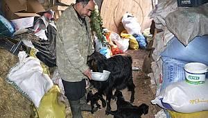 Kahramanmaraş'ta üçüz doğan oğlakları evlerinde biberonla besliyorlar