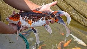 Kahramanmaraş'ta bir girişimci Japonların koi balığını üretmeye başladı