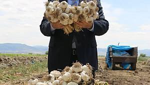 Pazarcık, Sarımsakta da Türkiye'nin Üretim Üssü Olacak