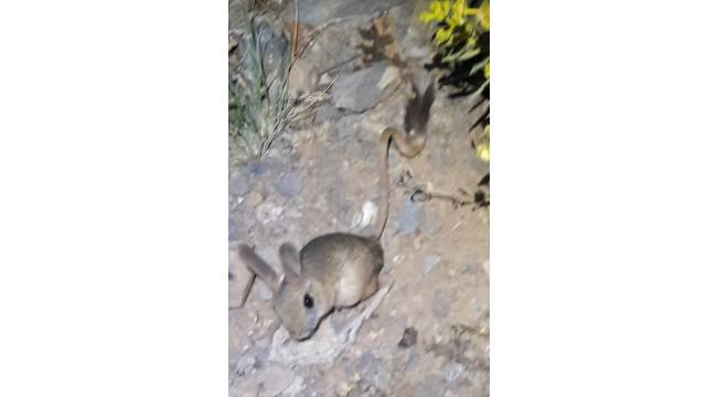 Kahramanmaraş'ta Arap tavşanı görüntülendi