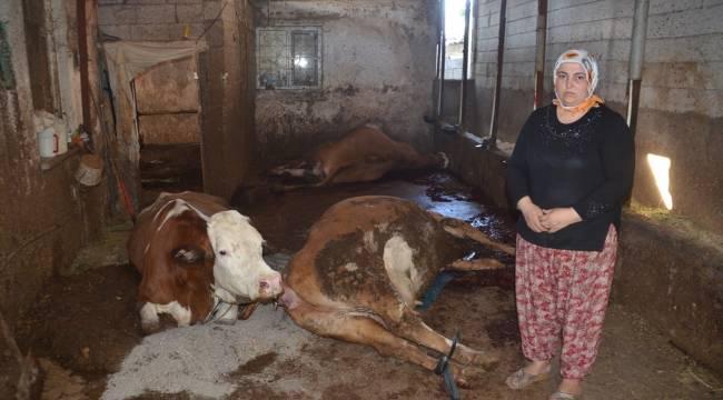 Kahramanmaraş'ta elektrik akımına kapılan 5 inek telef oldu