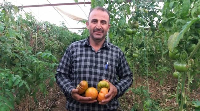 Türkoğlu'nda serada yılda 30 bin ton domates üretiliyor