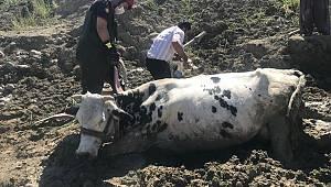 Kahramanmaraş'ta bataklığa saplanan inek vinçle kurtarıldı